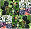 20 Blackberry Fruit Shrub Seeds Rubus Allegheniensis NOT PICKY ABOUT SOIL -Nectar Source for Honey Bees - Zone 3+