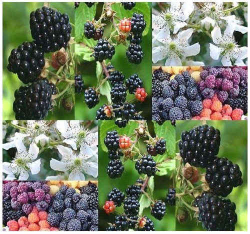20 x Blackberry Fruit - Shrub Seeds - Rubus Allegheniensis - NOT PICKY ABOUT SOIL TYPE - Heat Tolerant & Hardy To Zone 3 - By MySeeds.Co (Heat Tolerant Tomato Seeds compare prices)