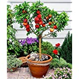 Seeds and farms 25 Seeds Dwarf Peach Fruit Tree Indoor/Outdoor