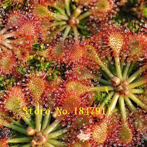 nuevos-de-venta-de-big-nuevos-200pcs-lot-semillas-de-bonsai-scarlet-sarracenia-planta-carnivora-dion