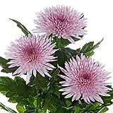 キク(ポットマム):アナスタシアピンク4.5号鉢植え[鉢植え・切花で楽しむ洋種菊]
