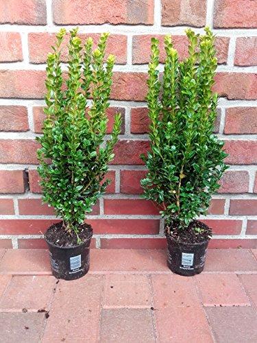 20 buchsbaum h he 45 50 cm buxus sempervirens buschig. Black Bedroom Furniture Sets. Home Design Ideas