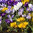 SeeKay Crocus Species Mix bulbs 200 bulbs
