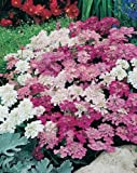VEGETABLE FLOWER SEEDS SUMMER WINTER GARDENING INDOOR OUTDOOR PLANTS (CANDYTUFT (FAIRY MIXED))