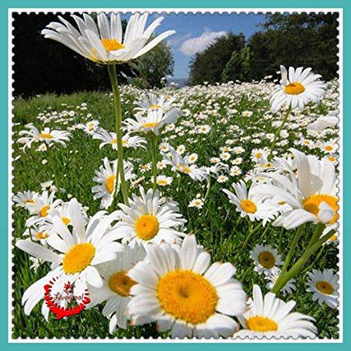 1-semillas-paquete-400-shasta-daisy-lowe-de-semillas-de-plantas-de-jardin-bonsai