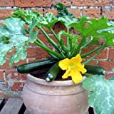 Suttons Seeds 150170 Courgette F1 Patio Star Seed