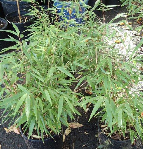 Box of 4 Fargesia Rufa Clumping Bamboo Plants