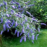 Buddleja davidii Adonis Blue - 2 shrubs