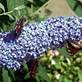 BUZZTM Sky Blue Butterfly Bush - Compact/Short - Heavy Blooms-Gallon Pot-Buddleia