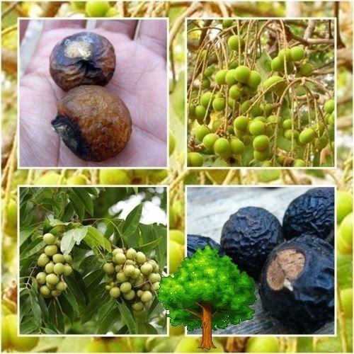 tara-garden-10-seeds-indian-soapberry-soap-nut-tree-sapindus-mukorossi-many-useful-rare-seed-2016