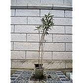 キョウチクトウ・夾竹桃(白花) 樹高1.2m前後