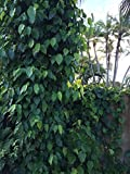 Betel Leaf (Paan)