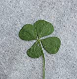 Real Pressed Four Leaf Clover (Dried & Flattened)