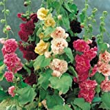 Hollyhock Flowers Double Mixed Seeds, Pack Of 30 Seeds By Seedscare India