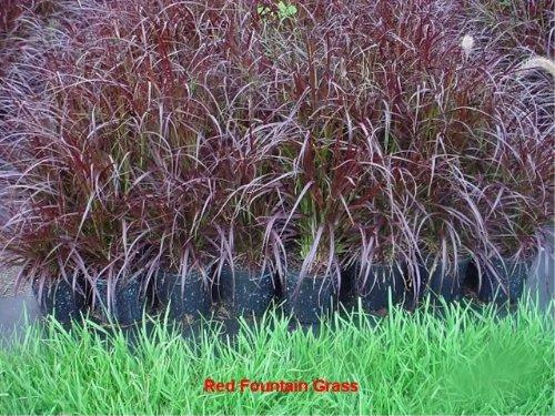 Purple Ornamental Gras...