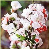 花桃の苗木 立ち源平桃(咲き分け)