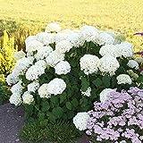 Hydrangea macrophylla blanc (Hortensia) - 1 arbrisseau