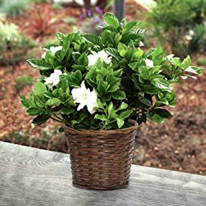 Large Fragrant Gardenia In Light Brown Basket- Beautiful Live Plant Gift - Ships Express 2nd Day