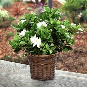 Large Fragrant Gardenia in Woven Basket
