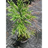 (1 gallon) Cryptomeria Radicans, Nature's Privacy Fence, Beautiful Hedge , Evergreens,