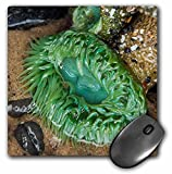 Danita Delimont - Marine Life - Oceanside, Oregon. Giant green anemone in very low tide pool. - MousePad (mp_231516_1)