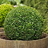 Heirloom Boxwood, Buxus Sempervirens, 30 Seeds, (Hardy Evergreen, Topiary, Hedge, Bonsai)