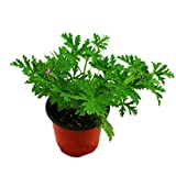 200 Pcs Citronella Plant Seeds Mozzie Buster Sweet Grass Mosquito Repellent for Home Garden