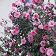 Camellia japonica pink - 1 shrub