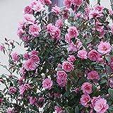 Japanische Kamelie Rosa - 1 strauch