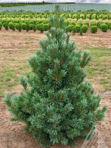 Vanderwolf Pyramid Pine 4 - Year Graft