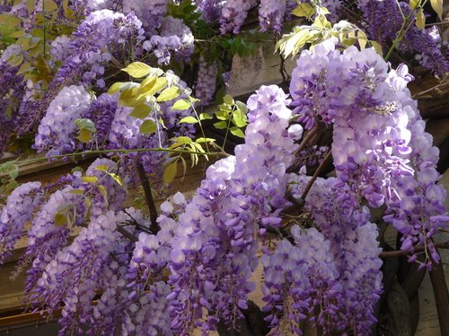 9GreenBox - Chinese Blue Wisteria - 4 Pot