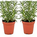 Live Rosemary Plant - Set of 2 Hardy Rosemary Arp Plants Grown Organic Non-GMO USA Great Container Herbs Shipped Potted