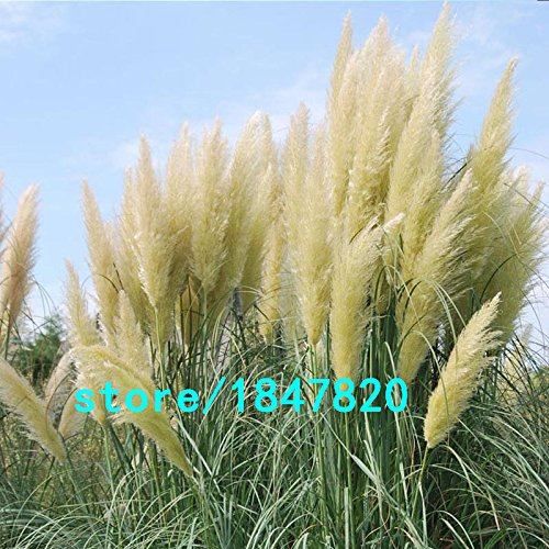 la-vendita-calda-gialla-erba-di-pampa-semi-di-fiori-da-giardino-in-vaso-ornamentale-delle-piante-cor