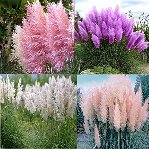 1000 samen pampas gras lila pink wei rot cortaderia selloana garten flowers 3 jahre garantie. Black Bedroom Furniture Sets. Home Design Ideas
