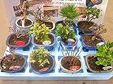 ミニ盆栽 おまかせ 12鉢セット 陶器鉢