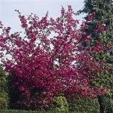 Malus Liset - 1 tree