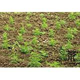 Annual Mugwort Artemisia Carvifolia Seeds 2000pcs, Family Asteraceae Artemisia Annua Seeds, Chinese Sweet Wormwood Qinghao Seeds