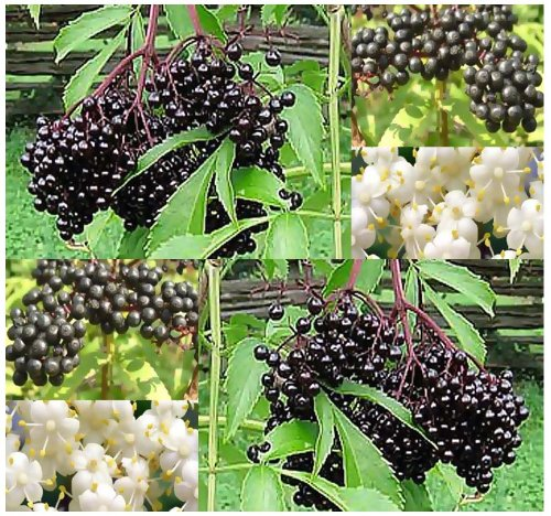 50 X American Elderberry Seeds - Sambucus Canadensis - Edible Fruit - Edible Hedge Shrub With Fruits That Makes Great Jellies - Fragrant Edible Flowers - Zones 3 - 9 - By Myseeds.Co