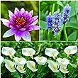 Bloomsz Pond Plant Collection (Attraction/Calla/Pontederia) 3pk