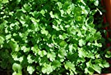 Seedstores : Hybrid Coriander Dhania Seeds For Kitchen Terrace Gardening 20 Grams 1000 Plus Seeds