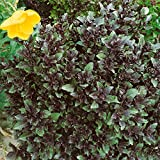Premier Seeds Direct ORG231 Basil Corsican Organic Seeds (Pack of 600)