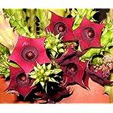 """Huernia Schneideriana, Asclepiad Stapeliad Rare Red Color Plant Exotic 2"""" Pot"""