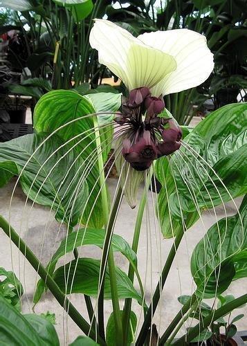 tropica-fiori-pipistrello-nepalesi-tacca-nevia-white-10-semi