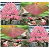 50 x KATSURA Tree Seeds - C. japonicum Tree Seed - Japanese BONSAI TREE with FRAGRANT AUTUMN LEAVES - Spectacular Gold, Orange & Red Colors - Zone 4 - 8 - By MySeeds.Co