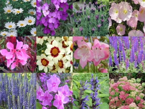 Herbaceous Perennial Mixed Collection 10 Plug Plants From Plugplants4u
