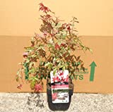 Acer palmatum Shindeshojo - Approx 40-50cm tall - Grown in a 2 litre pot - Japanese Maple - Acer Shrub Trees Gift Present
