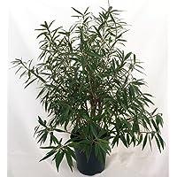 Willow Leaf Weeping Wonderbum Fig Tree - Ficus salicifolia - 6