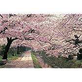 ポスター 桜/哲学の道 TX-1832