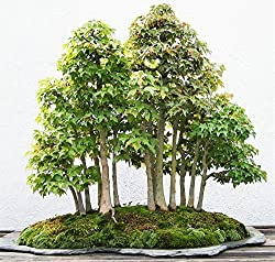 Forest Redwood Bonsai Tree Seeds, Sold By Variety House