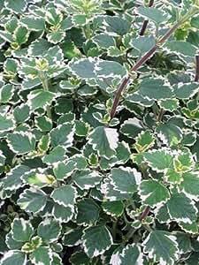 61OdYsAJM0L._SY300_QL70_ Variegated Plectranthus House Plant on swedish ivy plant, plectranthus nico plant, variegated agave plants, variegated jasmine ground cover, plectranthus vicks plant, koorka plant, purple plectranthus plant, variegated plectranthus amboinicus,